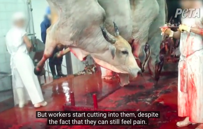 horrific-kosher-cruelty